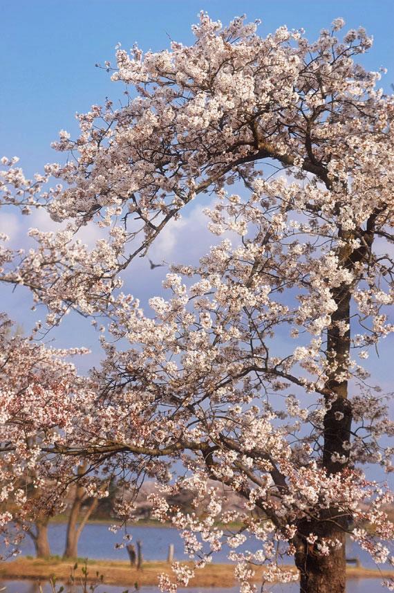 hyoukosakura22-04.jpg