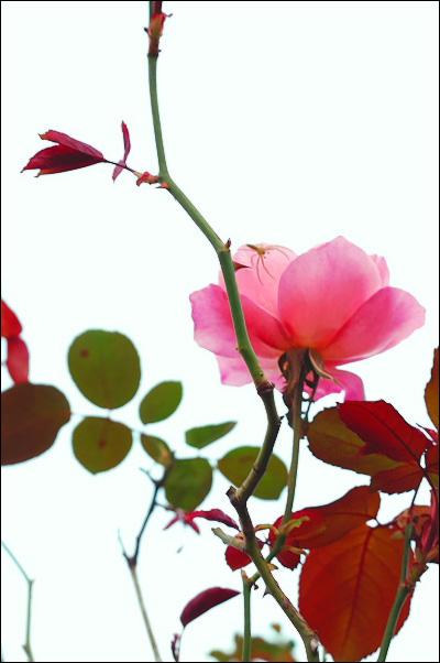 rose02.jpg
