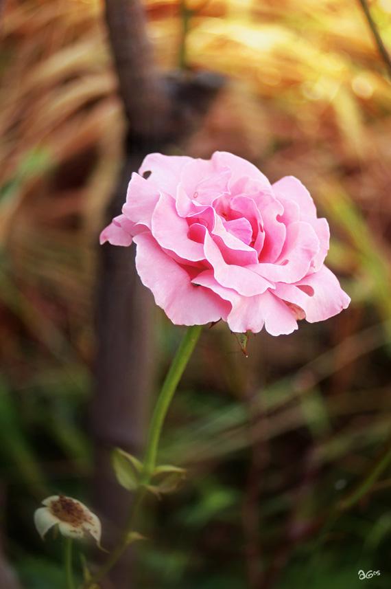 rose0909.jpg
