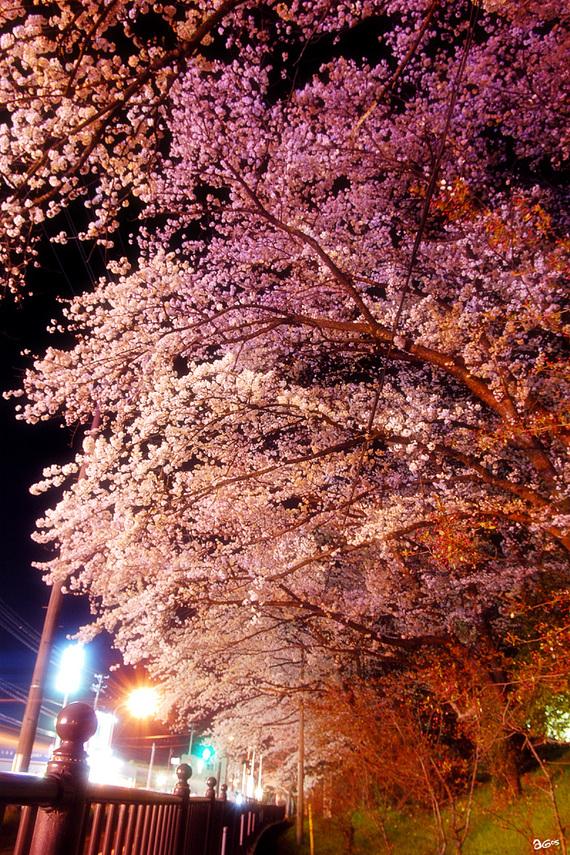 tencyouyamayozakura-02.jpg