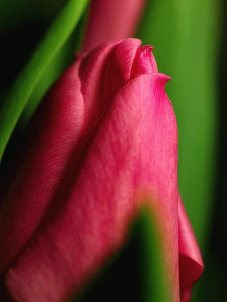 tulip04.jpg