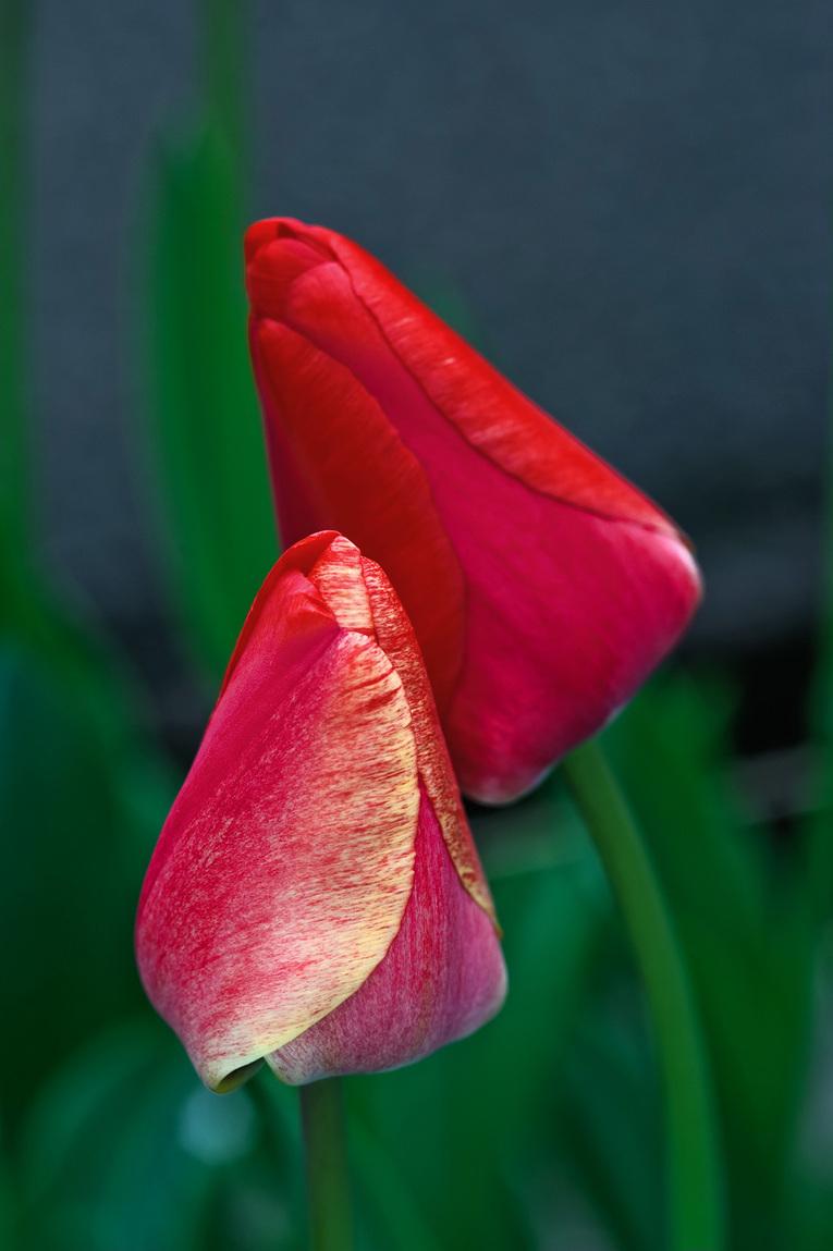 tulip11-01.jpg