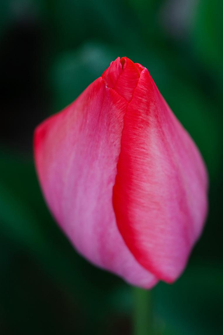 tulip11-07.jpg