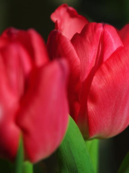 tulip2-02.jpg