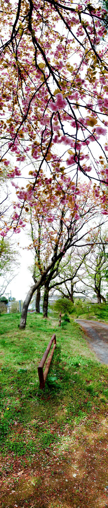 yaezakura-tencyouyama.jpg